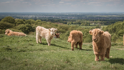 Highland Cattle at Lyme
