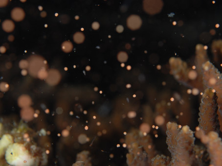 透明度55m珊瑚の産卵ナイト!!【透明度抜群柏島!平日少人数、柏島ダイビングツアー】8/19-20