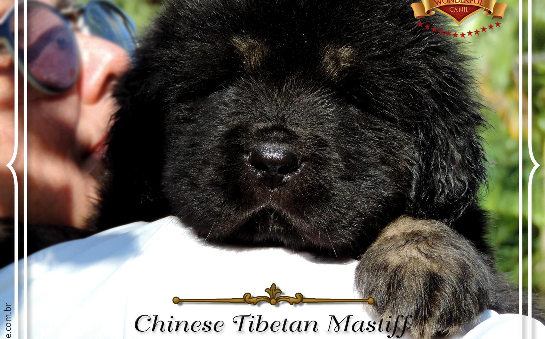 Macho Mastiff Tibetano - Black and Tan