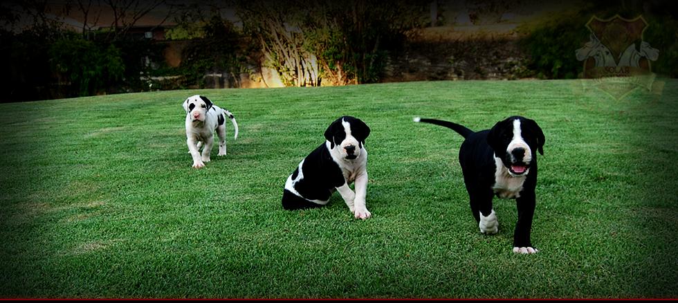 filhotes dogue alemão