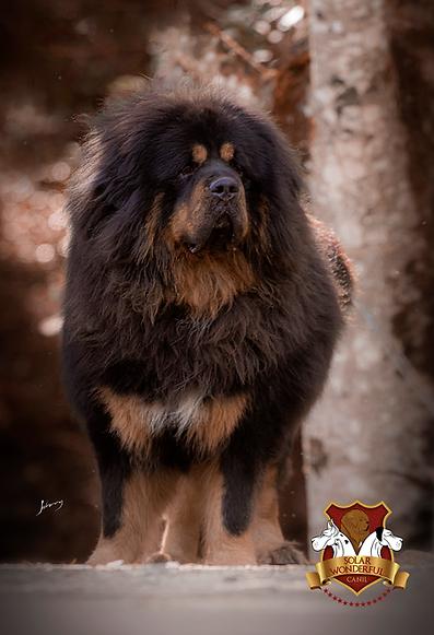 Mastiff Tibetano