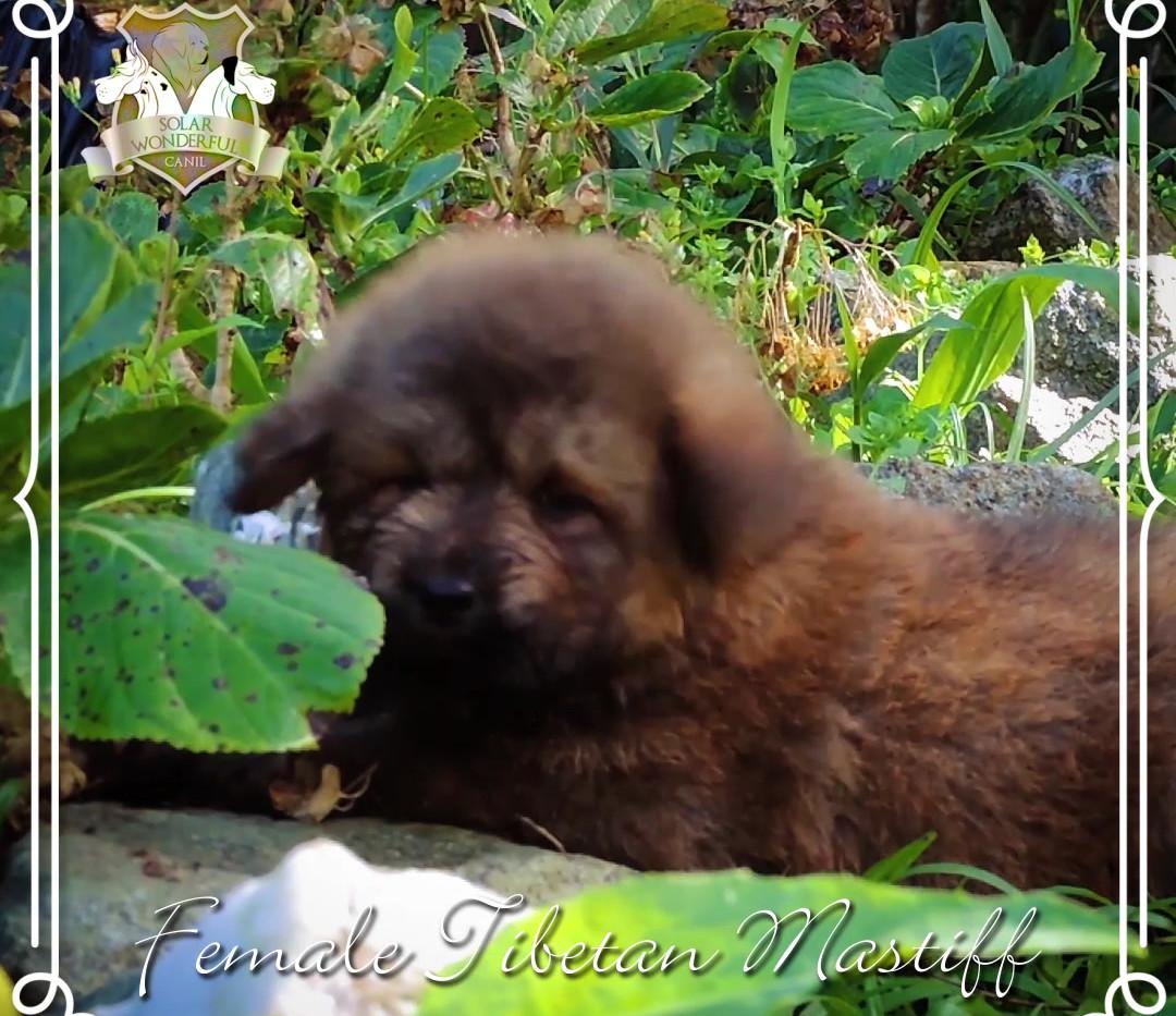 Fêmea Mastiff Tibetano - Gold