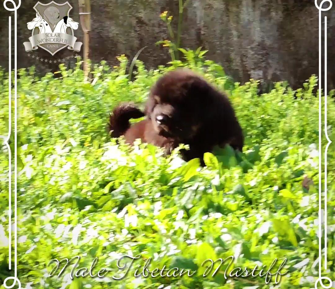 Macho Mastiff Tibetano Black and Tan