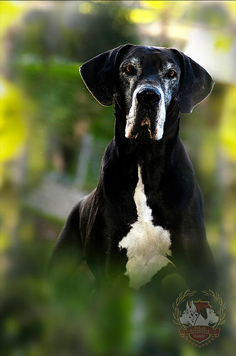 Alcon Dogue Alemão