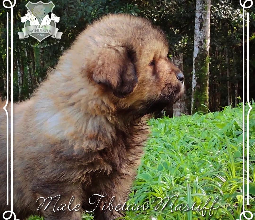 Macho Mastiff Tibetano - Gold