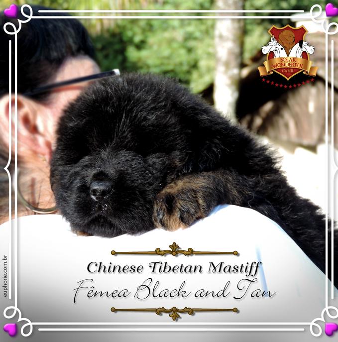 Fêmea Mastiff Tibetano - Black and Tan