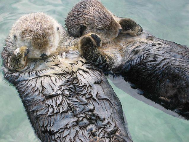 sea_otters_holding_hands-jpg-638x0_q80_crop-smart