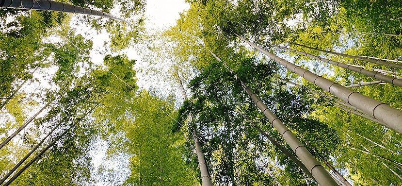 bamboo2Mia Nohara.jpg