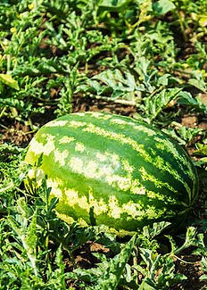 a watermelon growing in a garden