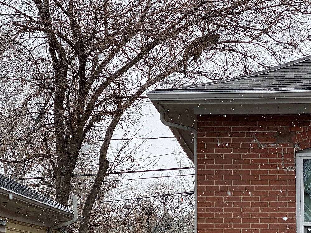 Big mountain lion resting on a tree branch that overhanges the roof of a house