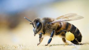 Como seguram as Abelhas o Pólen que transportam nas patas?