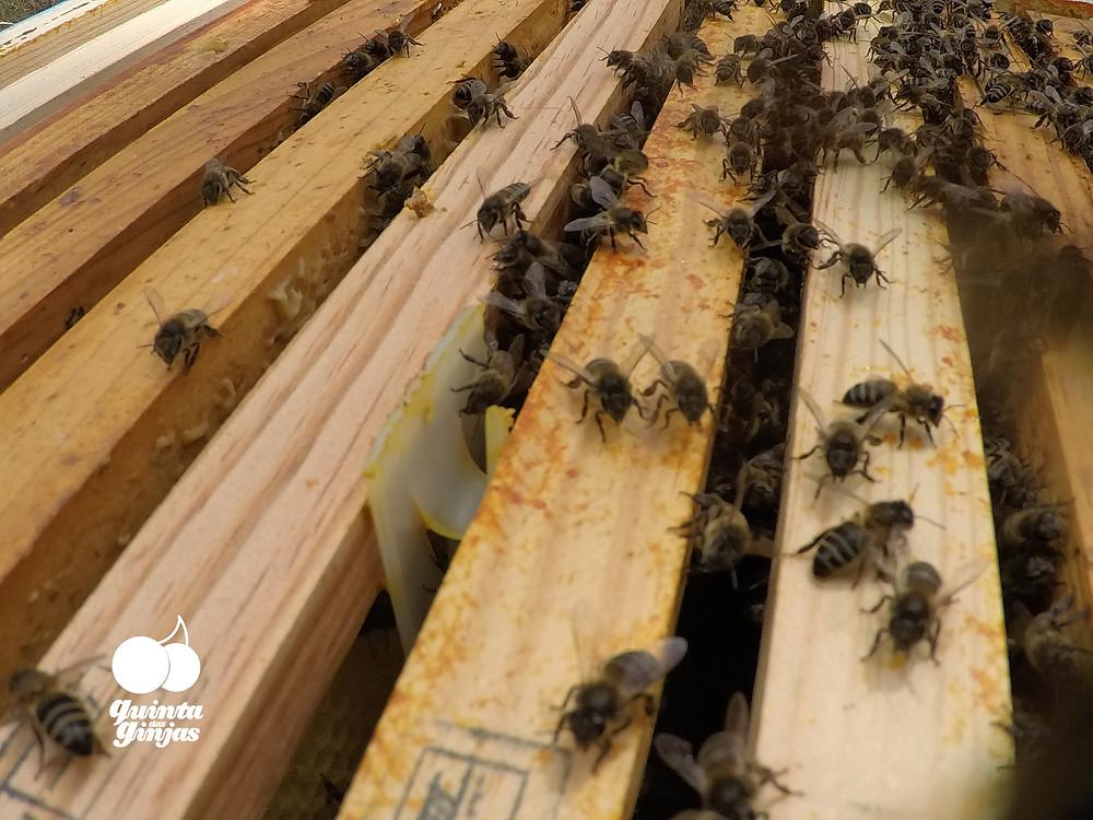 Controlo da Varroa