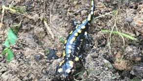 Salamandra de Fogo (Salamandra salamandra)