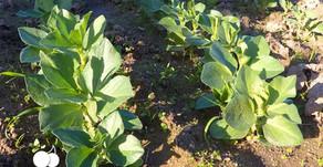 Como semear Favas?