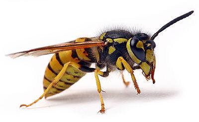 Wasp Treatment