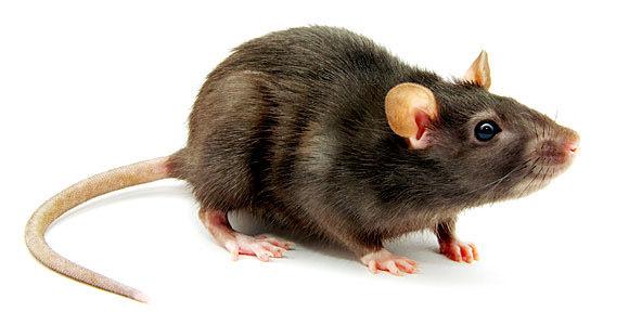 Rat Treatment