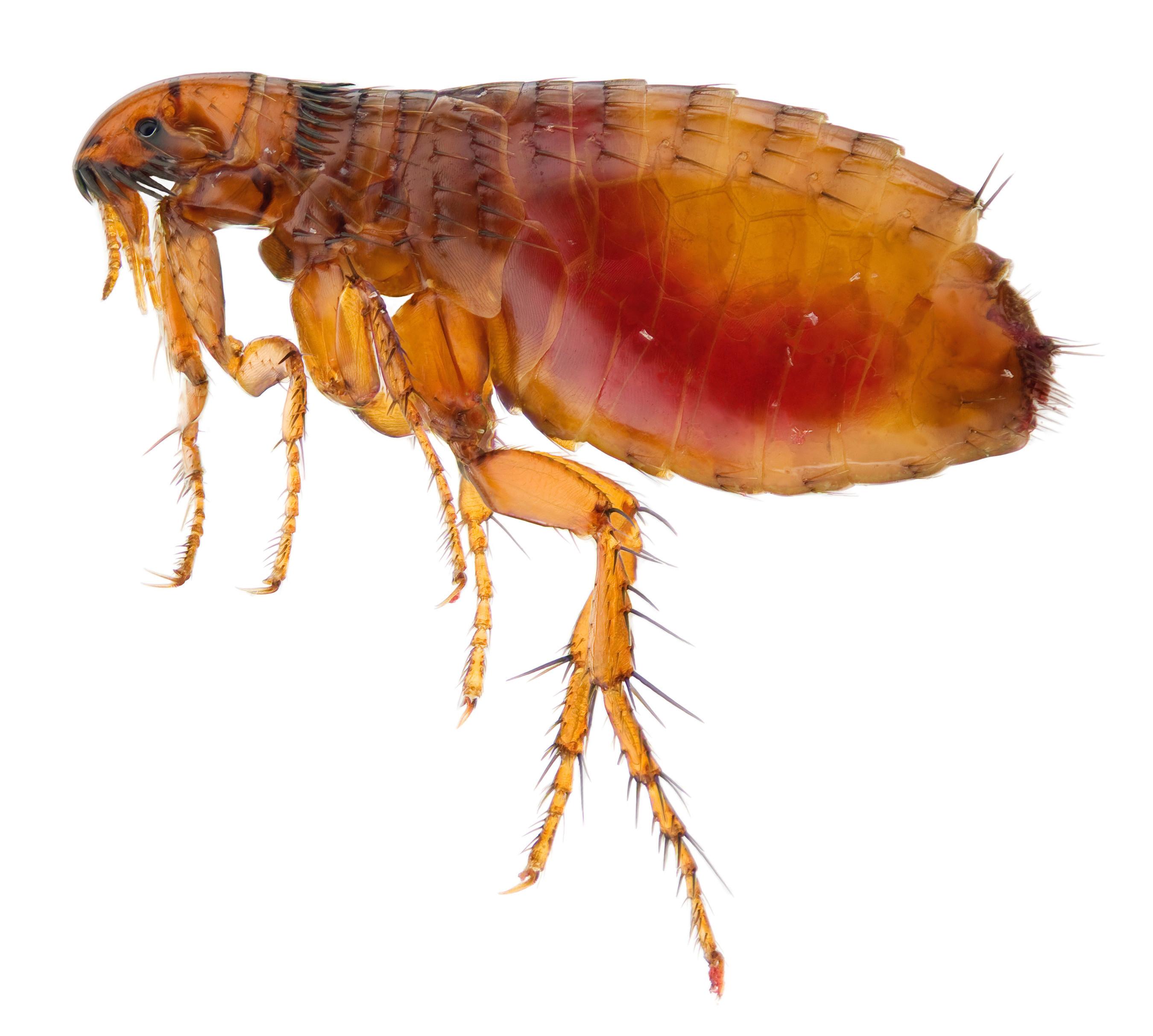 Flea Treatment (per room)