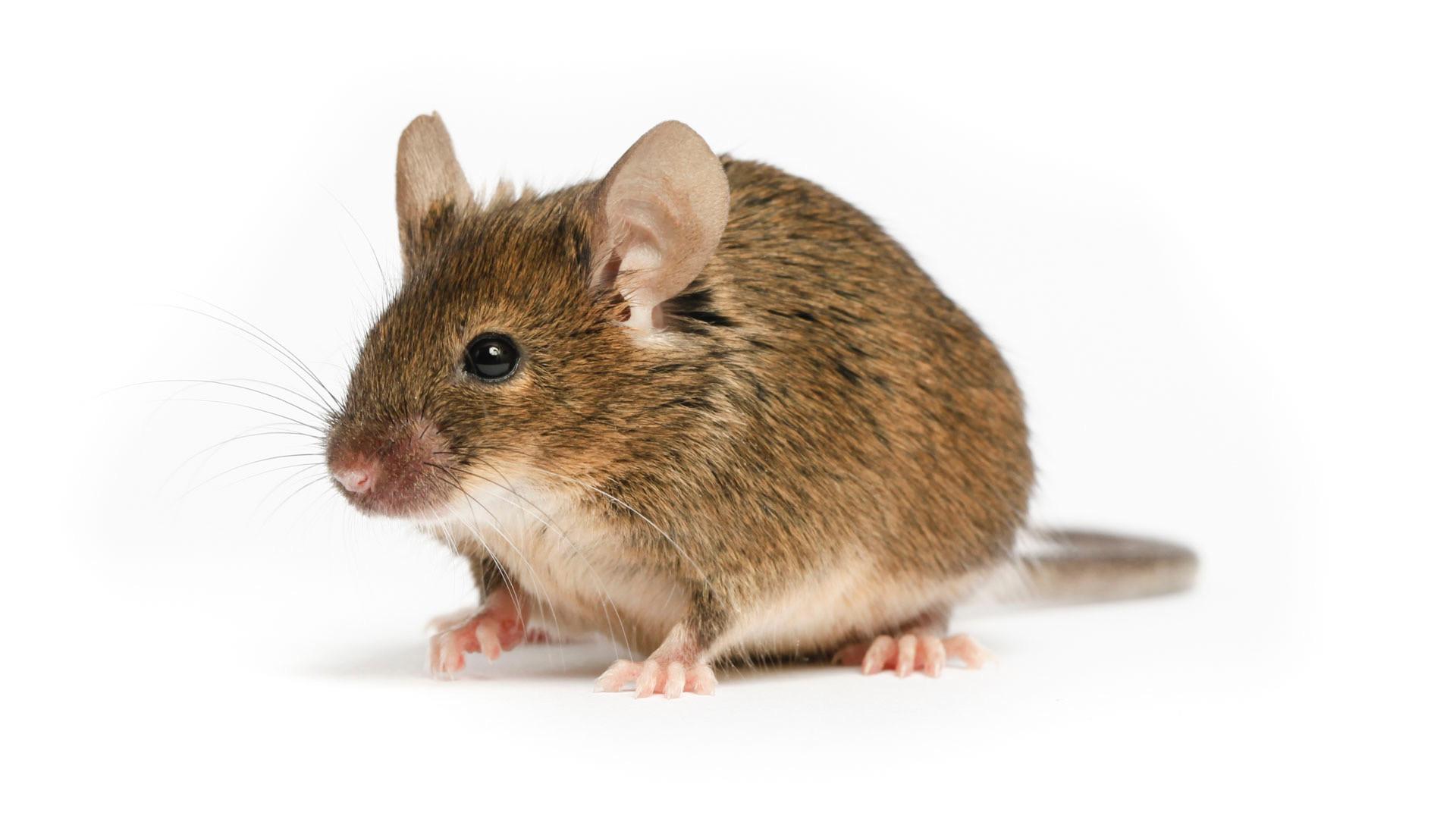 Mouse Treatment