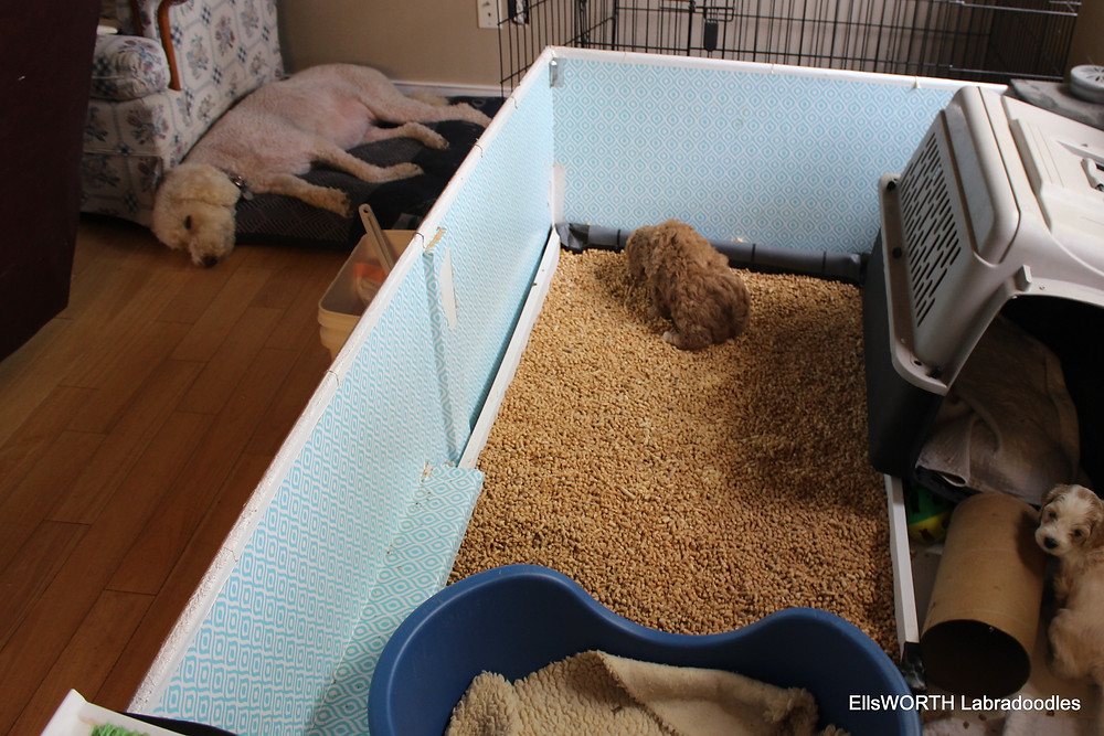 Using the potty box Good puppy! Notice Saddie asleep. she is our very first labradoodle,