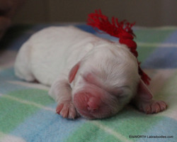 The last puppy born at 7:48 AM