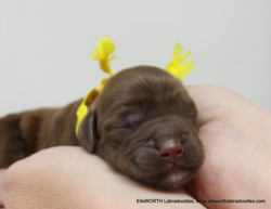 the only chocolate puppy