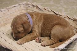 Labradoodle Puppy Violet Collar Girl