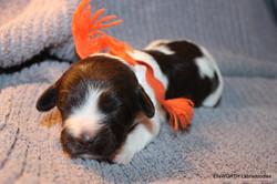 Labradoodle Puppy Clella Belle