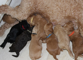 Temporary Names for Maple's Puppies