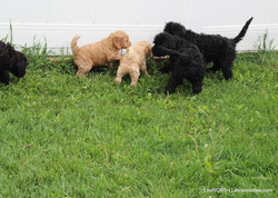 playing with puppies a month older