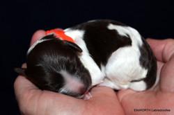 Labradoodle Puppy: Clella Belle