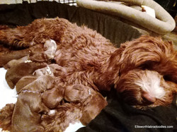Flora with her week old puppies