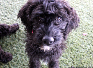 What's new with EllsWORTH Labradoodles...