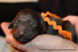 The 9th puppy born at 7:04 pm