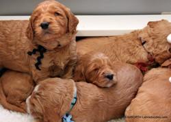 still loves the puppy pile to sleep