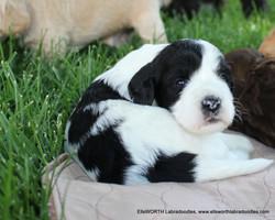 cutie black/white parti girl