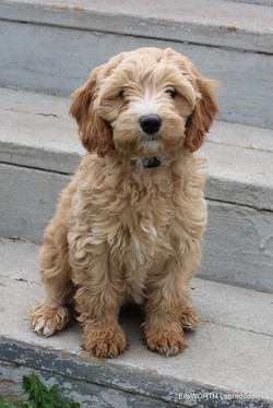 Labradoodle Puppy: Amy