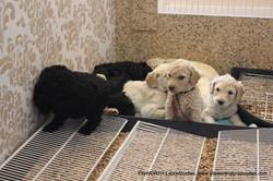 puppies have bigger digs