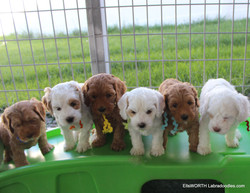 getting all 8 puppies to line up