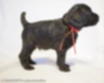 Watson puppy.png