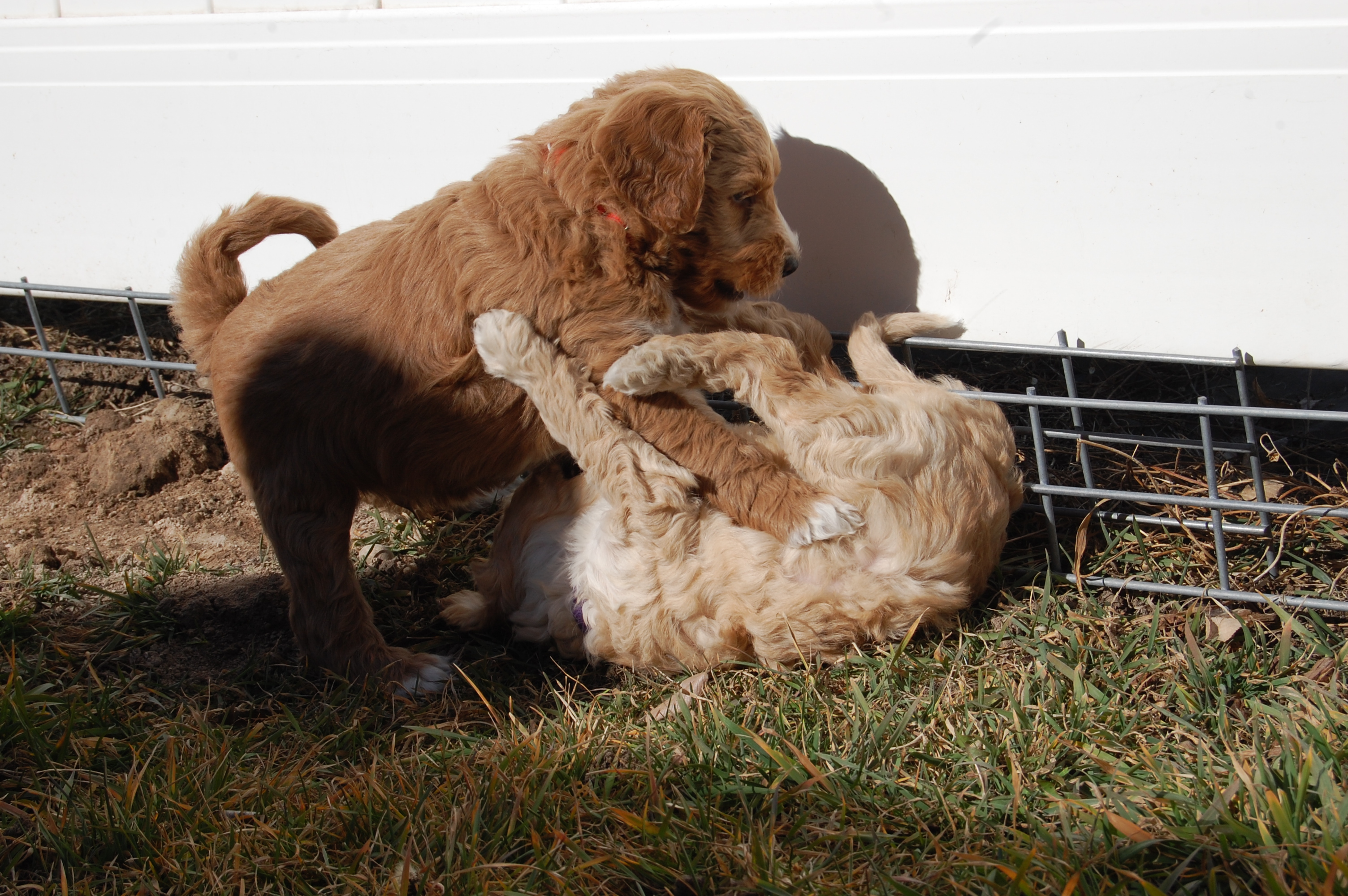 puppies love to wrestle