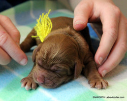The first puppy born at 2:18AM