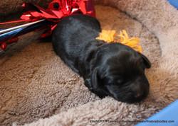 1 week old weighs 1.35 lbs.