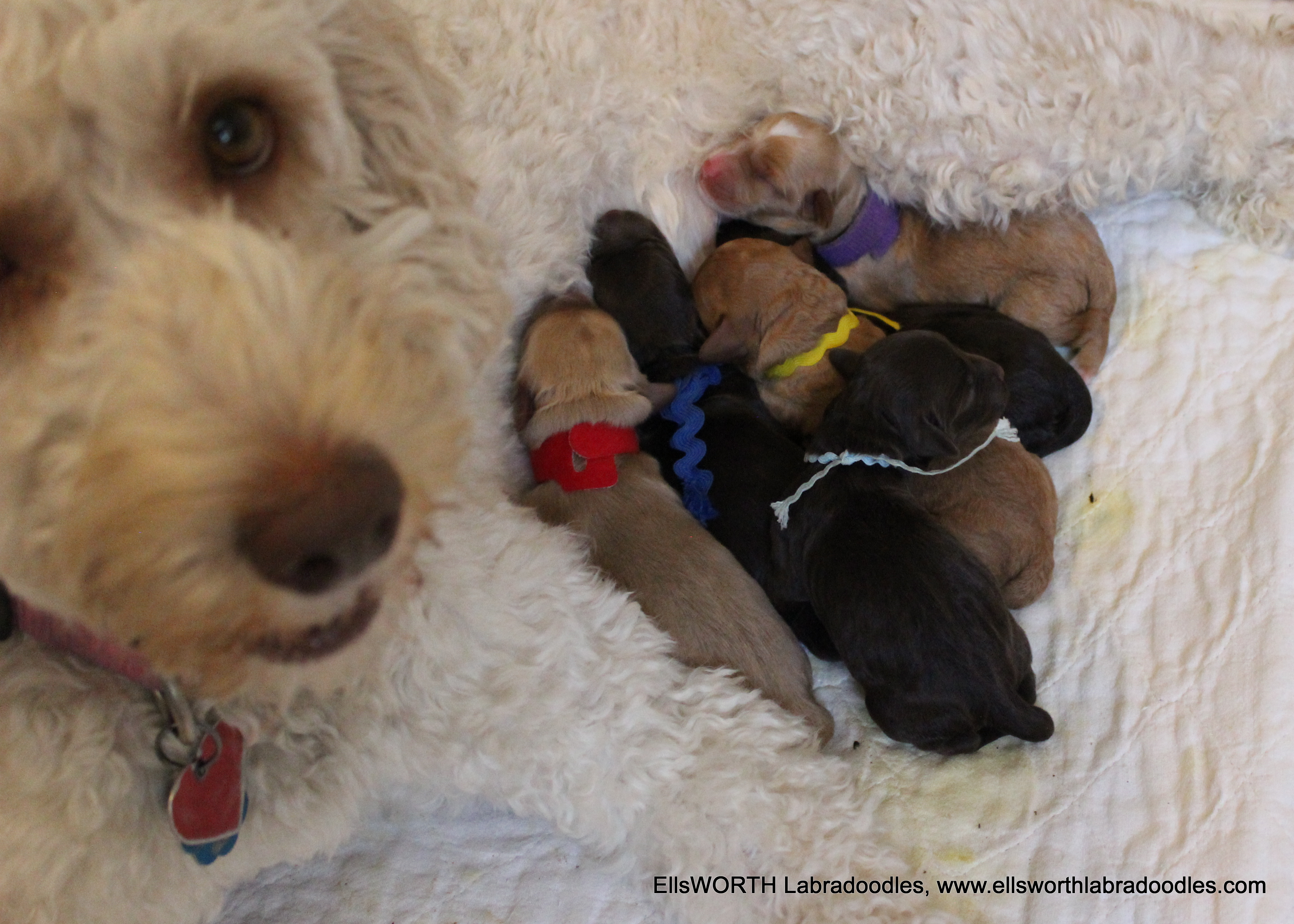 Lily's Puppies