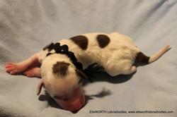 7th puppy born at 7:00pm