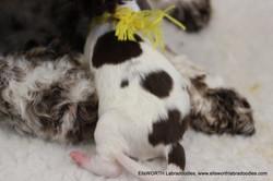 The 8th puppy born at 7:00 pm