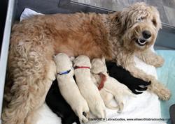 Standard labradoodle puppies