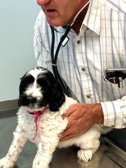 Snow white at the vet