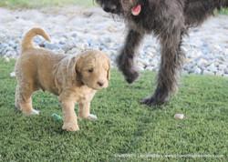 Watson loves the puppies