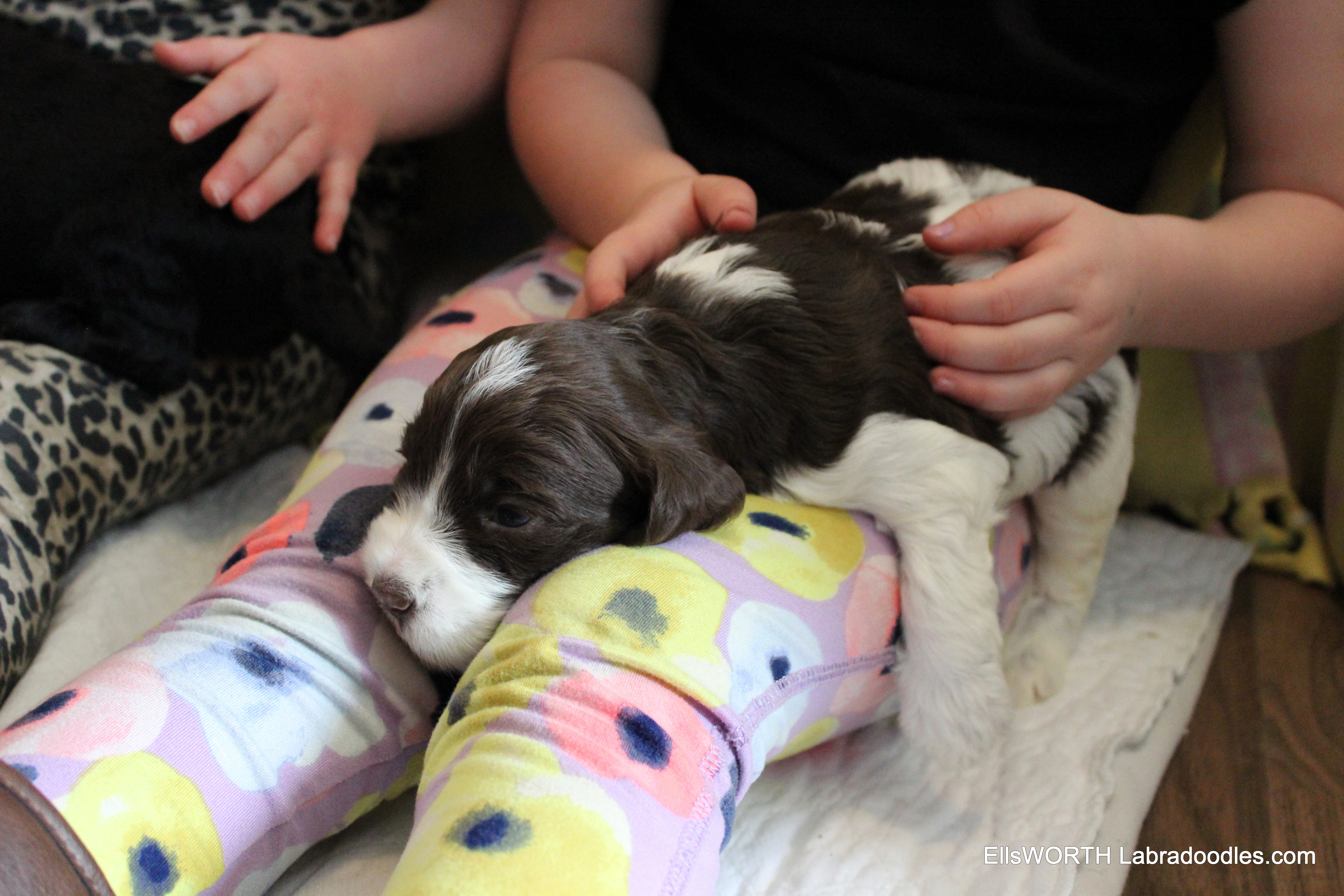 Labradoodle Puppies for Sale: Sky's Litter