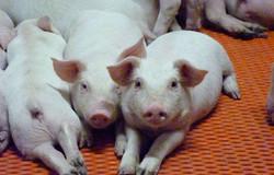 Canadian pigs_edited
